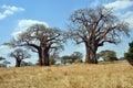Savana Landscape With Baobabs