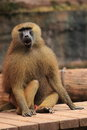 Savanna baboon Royalty Free Stock Photos