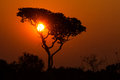 Savanna sunset in the congo sun setting behind silhouette of umbrella shaped acacia tree on woodland of kundelungu national park Stock Photo