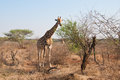 Savannah idyll two giraffes in a spring in south africa Stock Photo