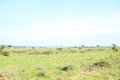 Savannah landscape with impala antelopes grazing Royalty Free Stock Photo