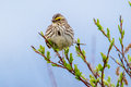 Savannah sparrow adult perched on leafy willow branch Stock Photos