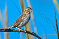 Savannah sparrow clinging to a branch Royalty Free Stock Photo