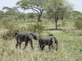 Savannah with two young elephants walking in tanzania africa Royalty Free Stock Photos
