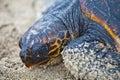 Saving turtle Royalty Free Stock Photo