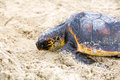Saving turtle Royalty Free Stock Photo