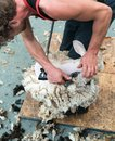 Detailed view of sheep farmer shearing sheep for their wool Royalty Free Stock Photo