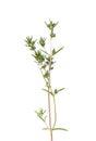 Savory (Satureja hortensis) Royalty Free Stock Photo