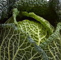 Savoy Cabbage background Royalty Free Stock Photo