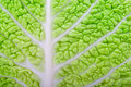 Savoy cabbage leaves Stock Photo