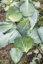 Savoy cabbage leaves on a compost heap Royalty Free Stock Images