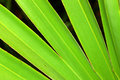 Saw Palmetto Background Stock Photography