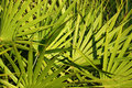 Saw Palmetto Background Royalty Free Stock Photo