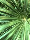 Saw palmetto, Green, Small Palm with thin leaves Royalty Free Stock Photo