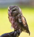Saw-whet Owl Stock Images