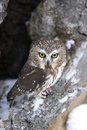 Saw whet owl Stock Photography