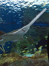 Sawfish In Aquarium