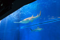 Sawfish In Large Aquarium