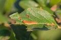 Sawfly Larva on Eaten Leaf Royalty Free Stock Photo