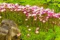 Saxifraga paniculata Royalty Free Stock Photo