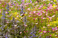 Saxifraga paniculata and bugle flowers aizoon ajuga flower background dff image adobe rgb Stock Photography