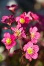 Saxifraga rosacea Royalty Free Stock Photography