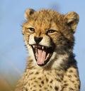 Sbadiglio del ghepardo Immagini Stock