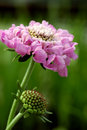 Scabiosa 'Pink Mist' Stock Images