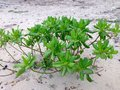 Scaevola taccada, Sea Lettuce Royalty Free Stock Photo