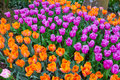 Scagit Valley Tulip Festival in Washington. Royalty Free Stock Photo