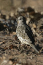 Scaled dove columbina squammata single bird on branch brazil Royalty Free Stock Photos
