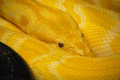 Scaley skin of a burmese python yellow snake with pattern on Royalty Free Stock Images