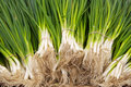 Scallions piles Royalty Free Stock Photography