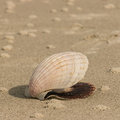 Scallop seashell lying on sandy beach Royalty Free Stock Photo