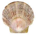 Scallop seashell from ocean isolated on white Royalty Free Stock Images