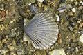 Scallop Shell On Beach