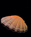Scallop shell close up of isolated on black background Royalty Free Stock Photography