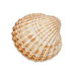Scallop shell isolated on white background Royalty Free Stock Photo