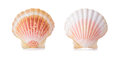 Scallop shells in a row. Royalty Free Stock Photo