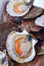 Scallops in the shell market Royalty Free Stock Photos