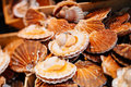 Scallops in the shell in the market at sale a fish edible salwater clams pecten jacobaeusm a product high omega Royalty Free Stock Image