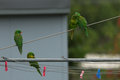 Scaly breasted lorikeet a photograph of some lorikeets on a backyard clothesline the photograph was taken in northern nsw Stock Photos
