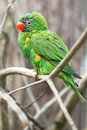 Scaly breasted lorikeet sitting on the branch Royalty Free Stock Photography