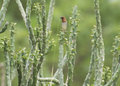Scaly-breasted Munia Sparrow and Cactus Plant Royalty Free Stock Photo