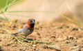 Scaly-breasted munia or spotted munia Royalty Free Stock Photo
