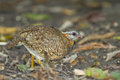 Scaly breasted partridge arborophi la chloropus in nature Stock Image