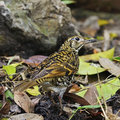 Scaly thrush beautiful bird zoothera dauma standing on the ground back profile Royalty Free Stock Photography