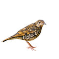 Scaly Thrush bird Stock Photography