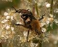 Scarab beetle, Trichius fasciatus and Leptura melanura hanging Royalty Free Stock Photo