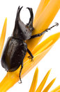Scarab beetle xylotrupes gideon linnaeus is a bug in dynastinae subfamily of beetles in the family scarabaeidae big coleoptera in Stock Photography